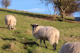 Sheep in a Field - 187656106