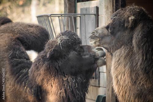 Fotobehang Kameel portrait of couple of dromadery camels