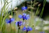 Blühende Kornblumen im Feld