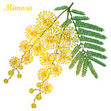 Vector branch of outline Mimosa or Acacia dealbata or silver wattle yellow flower, bud and green leaves isolated on white background. Blossoming bunch of Mimosa in contour style for spring design. - 187660710