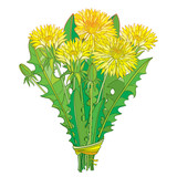 Vector bouquet with outline yellow Dandelion flower, bud and green leaves isolated on white background. Ornate floral elements for spring design and herbal medicine illustration in contour style.