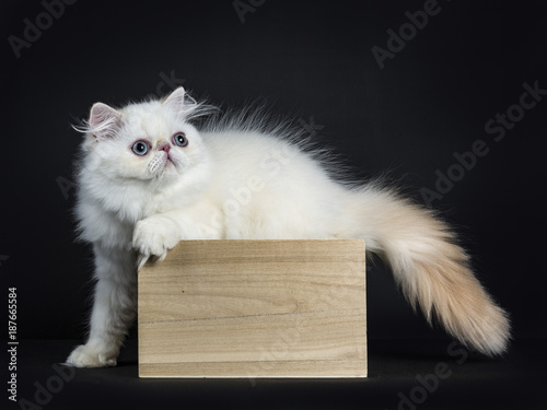Fotobehang Kat Persian cat / kitten standing in wooden box isolated on black background looking straight in camera with tail and pas outside the box