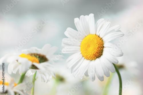 Chamomile flowers field  in sun ligh. - 187668706