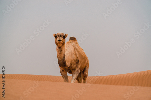 Fotobehang Marokko Dromedar auf Spaziergang