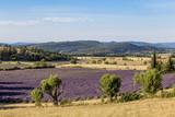 Champ de lavande près de Banon, Alpes-de-Haute-Provence  - 187670725