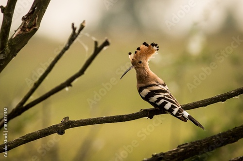 close up Eurasian Hoopoe