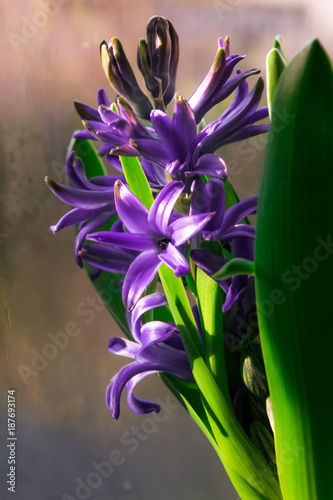 Fotobehang Iris Purple hyacinth blooming in the sunlight