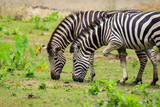 Image of two zebras are eating grass on nature background. Wild Animals. - 187695321