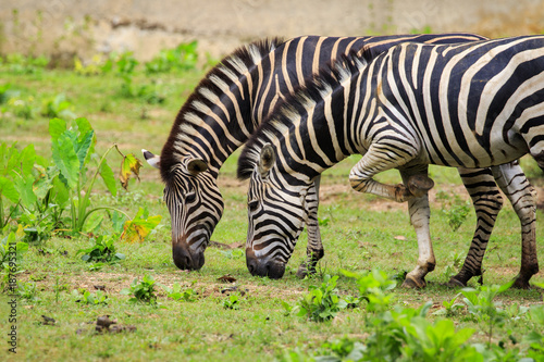 Fototapeta Image of two zebras are eating grass on nature background. Wild Animals.