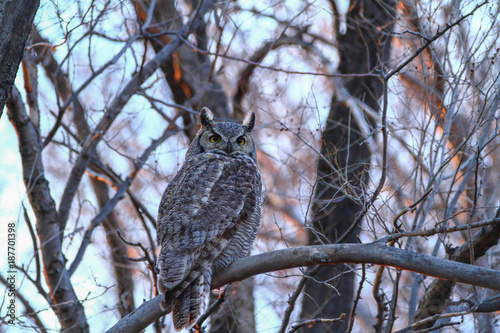 Foto Murales Great Horned Owl