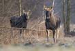 Elk / Moose (Alces alces)