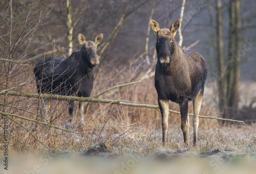 Elk / Moose (Alces alces)