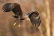 White tailed eagle (Haliaeetus albicilla) - adult