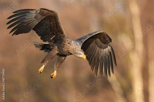 Plexiglas Eagle White tailed eagle (Haliaeetus albicilla) - adult