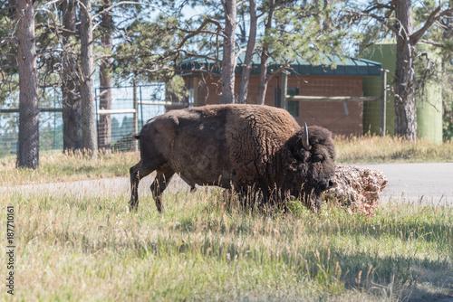 Aluminium Bison A Buffalo Walking on a trail