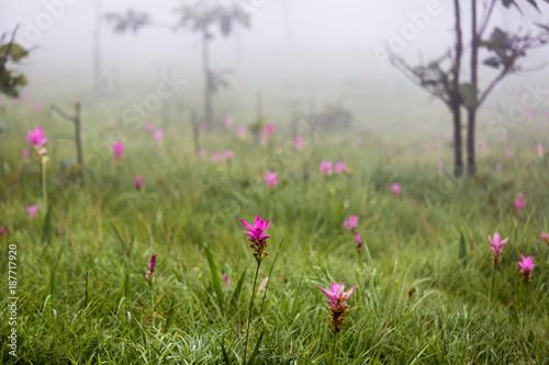 Fotobehang Tulpen Siam tulip flower( Krachai flower ), Curcuma sessilis flowers field are blooming in field located in Chaiyaphum