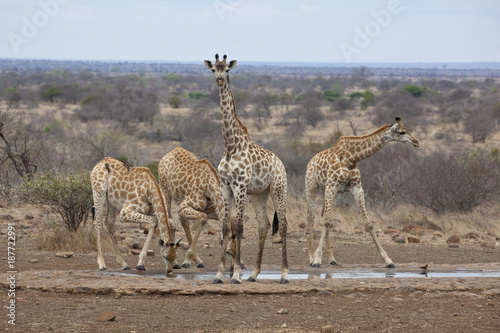 Four Southern Giraffe drinking at waterhole Poster