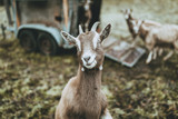 cute goat in nature on green ground looking straight into the camera - 187725303