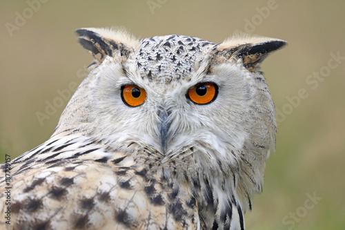 Plexiglas Eagle eurasian eagle owl