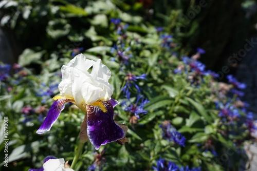 Fotobehang Iris kwiat po deszczu, irys