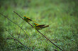 Two green bee eater birds in conversation
