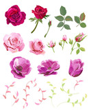 Set of roses, anemones, pink, red flowers and buds, green small twigs, leaves on white background, digital draw illustration, collection for design, vector