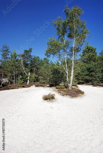Foto Murales  sable blanc et bouleaux en forêt de Fontainebleau