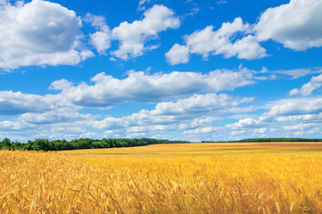 Rural scenic landscape with  rye field and  beautiful sky