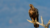 Golden Eagle on a Branch - 187749591