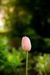 Pink tulip flower in a green spring park.