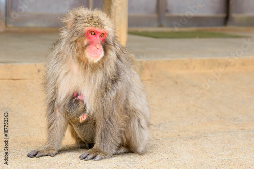 Fotobehang Kyoto Macaca fuscata mother monkey hugged her young baby sitting on the ground at Iwatayama Monkey Park of Arashiyama town in Kyoto prefecture, Japan.