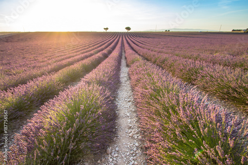 Foto op Plexiglas Lavendel Big lavender field on sunset