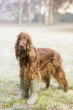 Vertical photo of a funny Irish Setter dog as standing in the grass and wearing rubber boots - 187757597