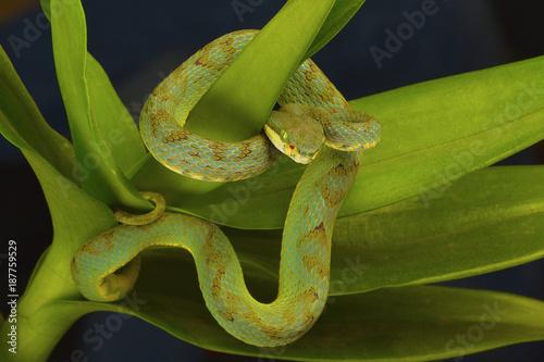 Staande foto Afrika Bamboo pit viper Trimeresurus gramineus. Visakhapatnam, Andhra Pradesh, India