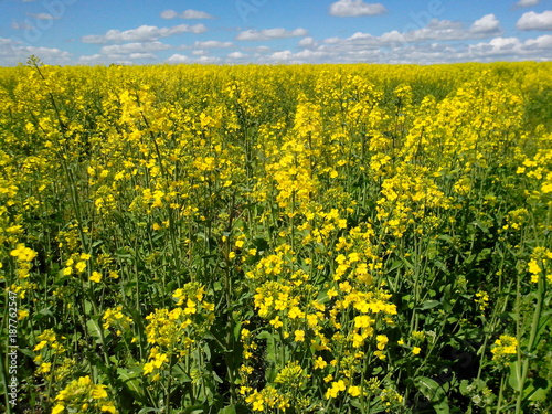 Foto op Plexiglas Honing Beautiful natural landscape: field with yellow rape flowers against the blue sky, agriculture, nature, countryside
