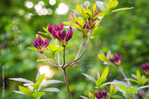 Fotobehang Azalea Rhododendron or azalea blooming flowers in the spring garden, nature background. Beautiful sunny crimson color buds