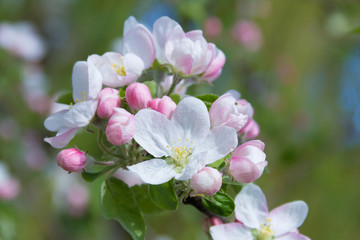 fresh spring flowers of apple tree on the branches.