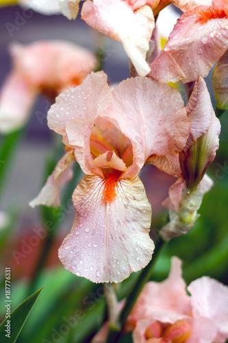 Fotobehang Iris Iris bearded pink close-up after rain with drops