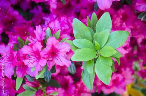 Fotobehang Azalea Green azalea
