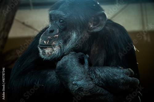 Poster Portrait of a monkey in a zoo looking unhappy