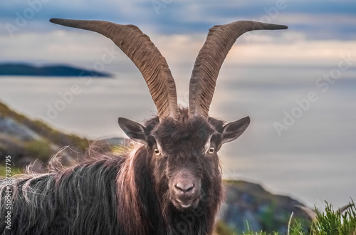 Wild mountain goat on the ocean front hills of the extreme north west of the Scottish Highlands.