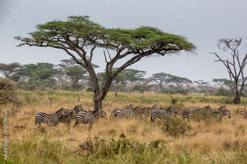 Foto Murales Akazie mit Zebras