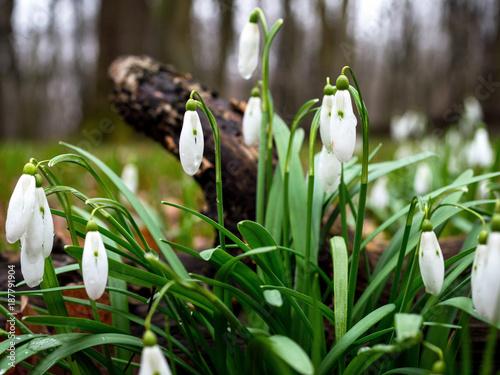 Kwitnące przebiśniegi w puszczy - 187791904