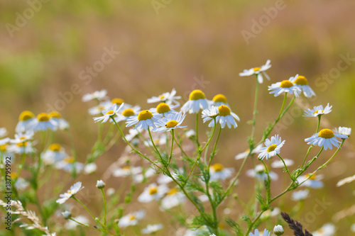 Foto op Canvas Natuur chamomile flowers on a meadow