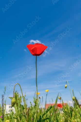 Foto op Canvas Klaprozen Mahnblume auf Feld mit blauem Himmel