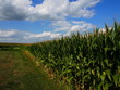 Iowa Cornfields in Summer with Big Sky