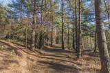 Walk in pine forest in autumn - 187802722