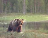 Big male brown bear (Ursus arctos) walking in the bog at sunset - 187806547