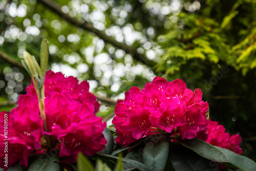 Fotobehang Azalea English Public Garden at late Spring with Green Trees and Bloomi