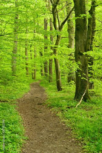 Tuinposter Weg in bos Wanderweg durch Buchenwald im zeitigen Frühjahr, frisches Grün